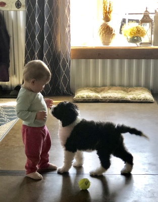 Quality Sheepadoodle Puppies for sale